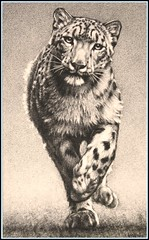 'The Chase' - Snow Leopard - Fine Art Pencil Drawings  www.drawntonature.co.uk (kjhayler) Tags: pictures blackandwhite cats mountain snow art cat print cub landscapes sketch skins artist natural image drawing wildlife picture illustrations drawings images naturalhistory study leopard bigcat charcoal posters leopardprint prints spotted panthers jaguar sketches panther printed bigcats snowleopard leopardskin predators wildcats wildanimals leopards ounce snowleopards snowleapard spottedcats snowleapord snowlepoard snowanimals snowleapords snowlepord thesnowleopard snowleopardpictures snowleopardhabitat picturesofsnowleopards snowleopardendangered snowleopardshabitat endangeredsnowleopards picturesofleopards snowlepords endangeredleopards snowleoperd picturesleopards snowleperd leopardsanimals animalleopards pictureofleopards asianleopards endangeredspeciesleopards
