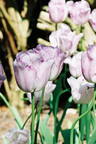 White Tulips, Streaked Mauve, in Bright Sunlight