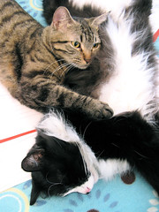Flying Kitties (veganmichele) Tags: friends sleeping rescue pet love animal cat flying furry kitten tabby fluffy tuxedo adopted efa