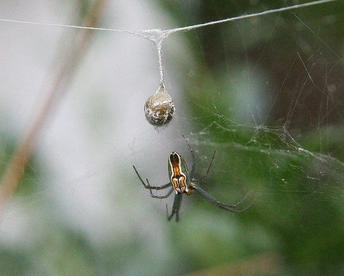Striped Spider with Egg Sack