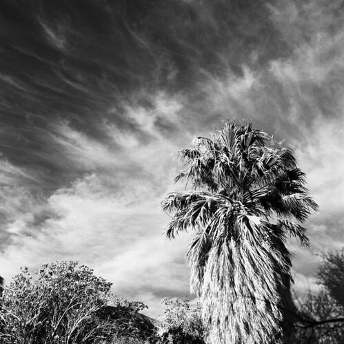 Windblown Desert Palm, Anza-Borrego