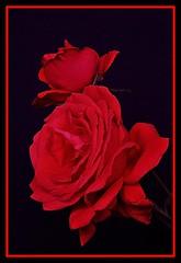 cadrageDSC_2646 (claudedelrieu21) Tags: macro fleur rose rouge amazing finest natures pictureperfect masterclass naturesfinest blueribbonwinner encarnado supershot amazingtalent amazingshot flowerotica flickrsbest fantasticflower masterphotos abigfave nikoniste anawesomeshot impressedbeauty flickrbest ultimateshot naturefinest infinestyle diamondclassphotographer flickrdiamond ysplix ilovemypic masterphoto overtheexcellence queenrose theperfectphotographer naturemasterclass macroflowerlovers montijoverdeamarelo excellentsflowers superbmacroflowers natureselegantshots natureelegantshots thepoweroftheflower auniverseofflowers goldenvisions