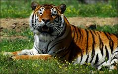 madrid_626 (respiraelviento) Tags: madrid tiger tigre safaripark aldeadelfresno