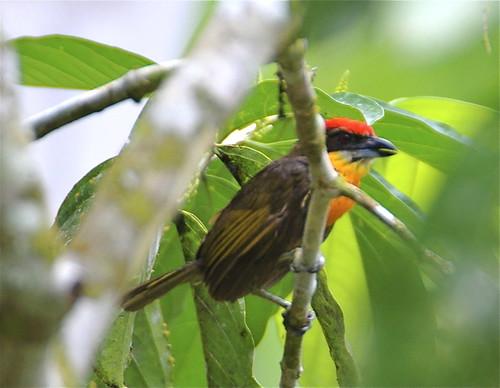 Scarlet-crowned Barbet, Male