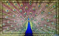 1438 Beauty in Blue (-salzherz-) Tags: picnik parcparadisio pentaxk10 salzherz thewonderfulworldofbirds