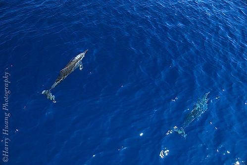 1_8218-Dolphin- I-Lan, Taiwan 宜蘭-長吻飛旋海豚- a photo on Flickriver