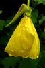 2008 07 20 Regentropfen auf Nachtkerze (Gertraud-Magdalena) Tags: wasser sommer juli garten regn wassertropfen regentropfen nachtkerze avesomeblossoms