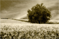 Dreaming of Wheat Fields (Angelo Bosco) Tags: tree field wheat campo albero grano spiga spighe anawesomeshot colourednotes neroamet angelobosco