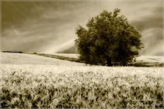 Dreaming of Wheat Fields (Angelo Bosco) Tags: tree field wheat campo albero grano spiga spighe anawesomeshot colourednotes neroamet angelobosco