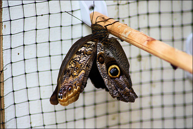 Butterfly Emerging From Pupa