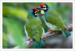 Birds / Lovers - Megalaima haemacephala
