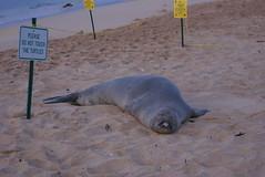 DSC00528 (washuugenius) Tags: beach photo kauai monkseal