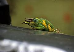 Chameleon 2 (Limey2007) Tags: africa old nikon uganda 1970s chameleon eastafrica ftn photomic pearlofafrica britishcolony kilembe