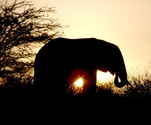 African elephant in sunset