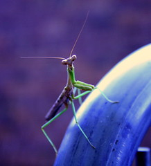 Hello (what_marty_sees) Tags: nature bug outdoor creatures prayingmantis