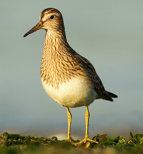 Pectoral Sandpiper by Ted Ardley.