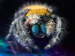 peek-a-boo (Mundo Poco) Tags: macro canon spider arachnid jumpingspider salticidae mpe65mm eos450d phidippusapacheanus rebelxsi