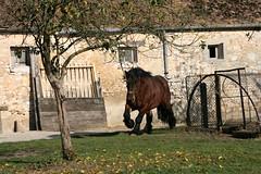 Umour de la Vue, sa famille, ses copains et ses copines... (Gypsy Cob) Tags: 300views 300 stallion drafthorse trait heavyhorse etalon over300views trekpaard chevaldetrait talon ardennais zugpferd traitardennais