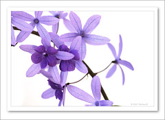 Petrea kohautiana-6750 (Barbara J H) Tags: garden diary vine australia your qld 2009 purpleflower maroochydore purplepassion sandpapervine barbarajh petreakohautiana countdownto2009yourdiary