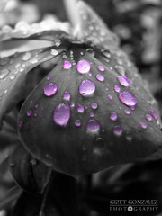 Goteado Cut-Out (★☆Gigi☆★) Tags: detalle flower detail macro cutout drops purple flor explore gotas catharanthusroseus rocio 276 morado flickrsbest desaturadoselectivo desaturacionselectiva ltytr1 6retos6 desafíoflickrosdevenezuela competenciarocio vincatropical