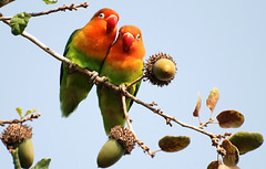 LoveBirds (David Lev) Tags: tree birds oak lovebirds fabulous mygarden birdwatcher naturesfinest nirim featheryfriday bej flickrcolour fowlfeatheredfriends avianexcellence colourartaward natureselegantshots ubej panoramafotogrfico