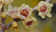 chimonanthus fragans 1
