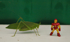 "THE INCREDIBLE SHRINKING IRON MAN - ""WHAT KATYDID NEXT"" (zero g) Tags: bug insect toy creative australia melbourne ironman armor superhero imagination robjan armour katydid tettigoniidae eclectic marvelcomics collectibles avengers avenger thesecretlifeoftoys fourcolorworld itsabsurdbutwelikeit plasticfigures anythingeverything scificatchall lifeinplastic toystoystoys weirdbutwonderful strangecouples islandoflosttoys toysaholicanonymous reallyunlimited stuffstuffstuff comicbooktoys australia2007daybydayonephotoaday allsizesavailable commongardenkatydid caediciasimplex stuffthatlookslikestufffromsciencefictionmovies plastic52 anythingabsurd ironmantoys ironmanhulkandnightcrawler ironman50thanniversary ironman50thbirthday"