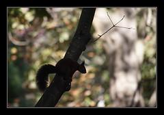 Ardilla a contraluz (Jashir) Tags: parque canon 350d spain squirrel gijn asturias canoneos350d ardilla asturies sciurusvulgaris isabellacatlica canonefs55250mmf456is