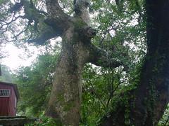 百年樟樹(張錫塒攝)
