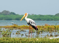 Pulicat (Velachery Balu) Tags: blue lake colour bird chennai pulicat marudhani velacherybalu paintedstork