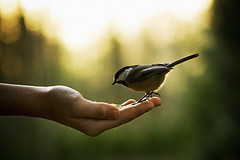 symbiotic. (kvdl) Tags: november bird katya bokeh britishcolumbia surrey chickadee blackcappedchickadee symbiotic birdinhand birdinthehand bearcreekpark canonef100mmf28usmmacro kvdl