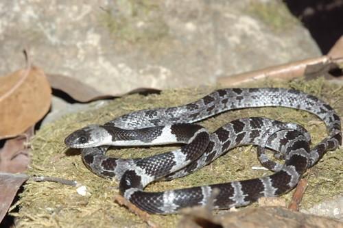 圖一:白梅花蛇