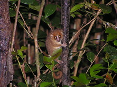 Microcebus murinus (Gray Mouse Lemur) (Arthur Chapman) Tags: madagascar mammalia ranomafana graymouselemur microcebusmurinus microcebus murinus taxonomy:class=mammalia geocode:accuracy=2000meters geocode:method=googleearth geo:country=madagascar taxonomy:genus=microcebus taxonomy:binomial=microcebusmurinus taxonomy:common=graymouselemur