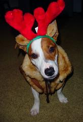 Merry Guapo-Xmas! (agulec ツ) Tags: christmas xmas dog pet cute puppy funny merry guapo