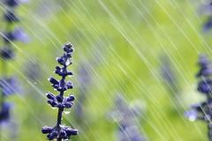 Slik Shower (a.lu.) Tags: blue flower water purple silk drop salvia taichung flowerscolors sinshe
