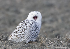 Snowy owl (RichardDumoulin) Tags: nature canon snowy owl snowowl outpost snowyowl 500f4 1dmk3 natureoutpost vosplusbellesphotos