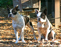 boston terriers (artfilmusic) Tags: boston terriers