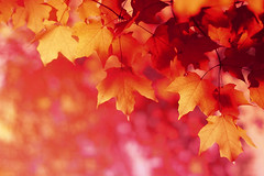 Autumn Fallin (Lee_Bryan) Tags: maple bokeh ehbd