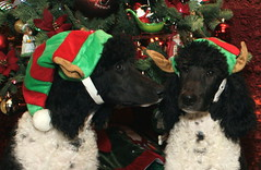 Santa's Littlest Elves (Runs with Poodles) Tags: dog white black hat oregon puppy christmastree elf ornament tuxedo spoo poodle briggs fritz chrismas parti standardpoodle coosbay northbend particolor elfhat partipoodle