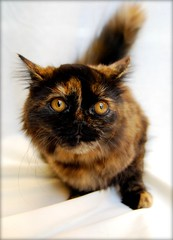 DSC_0013 (Cabana Portraits) Tags: portrait hairy orange pet cats pets brown white black color cute eye beautiful beauty animal animals sepia cat hair fur toy toys nose one paw eyes furry kitten feline kiss play fuzzy awesome tabby adorable kittens whiskers claw newborn whisker week felines tortie paws lovely claws