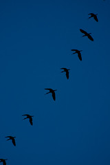 Geese In Flight