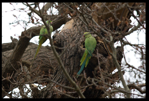 Parakeets in Richmond