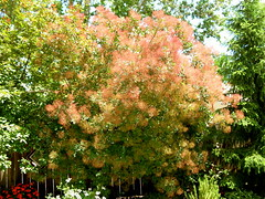 Smoke Tree (boisebluebird) Tags: flowers plants beauty garden landscape design michael landscaping boise patio smoketree gardendesign toolson syringacompany michaeltoolson boisebluebirdcom httpwwwboisebluebirdcom boiselandscaping boisegardener