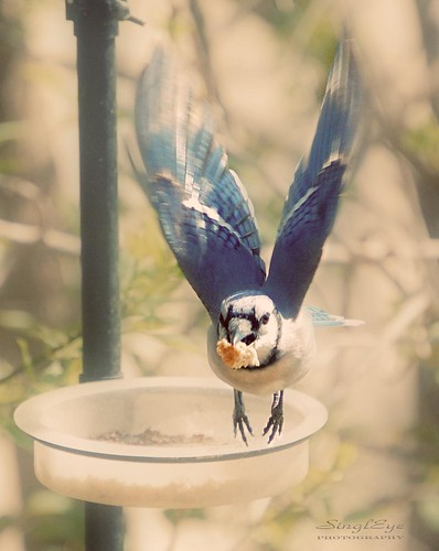 Blue Jay Action