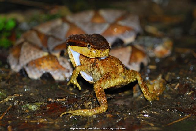 百步蛇 吃 盤古蟾蜍 3 Deinagkistrodon acutus, hunting