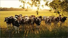 crowded cows (Zino2009 (bob van den berg)) Tags: light sunset brown sunlight holland tree green nature grass landscape licht cows bright young natuur gras curious picnik deventer weiland crowded landschap koeien firstyear holten ithink nieuwsgierig pinken vlekke anawesomeshot zino2009 bobphotography
