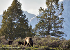 Grizzly and Two Cubs - Amber Alert (Daryl L. Hunter - The Hole Picture) Tags: wyoming coy sow jacksonhole grizzlybear grandtetonnationalpark grandtetonmountains twocubs cubsoftheyear grizzlybearsowtwocubsgrandtetonnationalparkjacksonholewyomingcoygrandtetonmountainsunitedstatesof