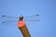 Dragonfly (MPhotos07) Tags: blue sky up bug insect lens wings nikon close dragonfly 300 55 vr d5000