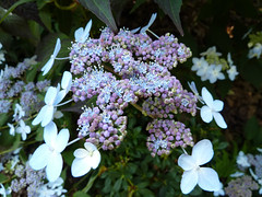 """Lacecap Hydrangea • <a style=""""font-size:0.8em;"""" href=""""http://www.flickr.com/photos/61957374@N08/5854054724/"""" target=""""_blank"""">View on Flickr</a>"""