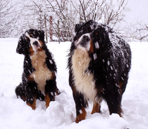 bernese mountain suzi & astor by mitjamavsar.